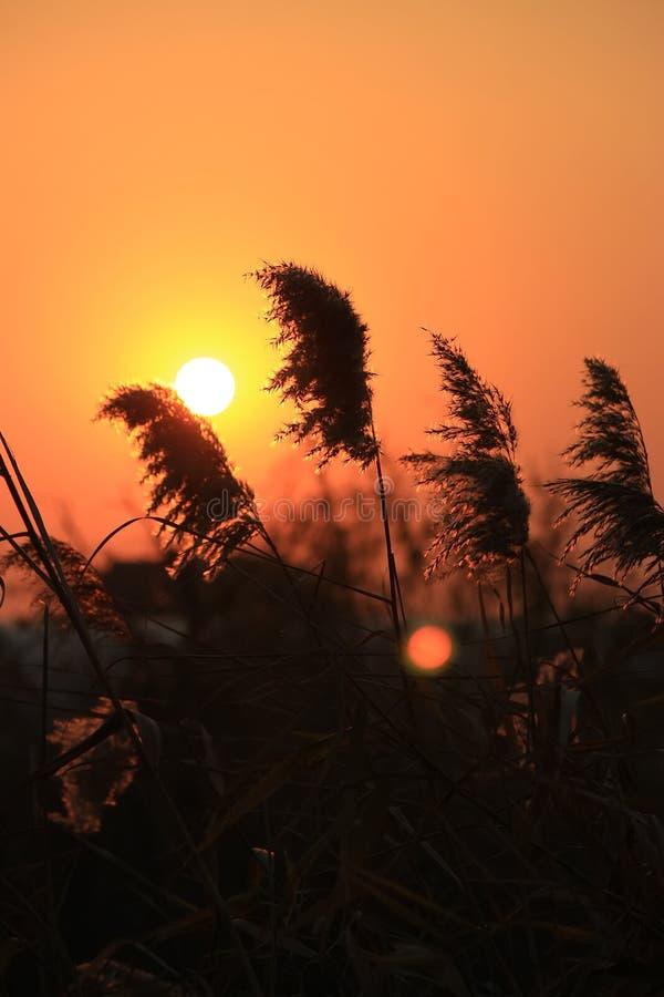 Reed отражает заходящее солнце стоковые фотографии rf