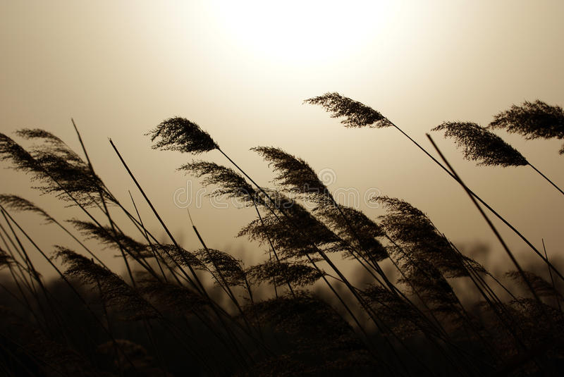 The Reed Royalty Free Stock Images