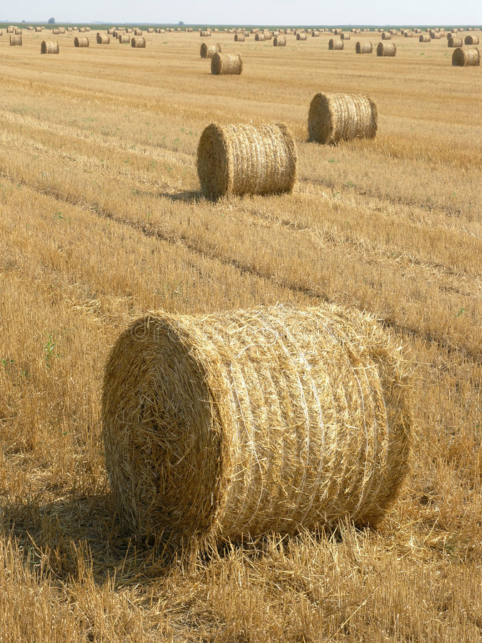 Reed. Wheaten plantation after harvest in Serbia stock image