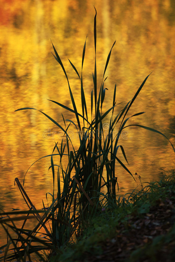 Download Reed Stock Images - Image: 27596084