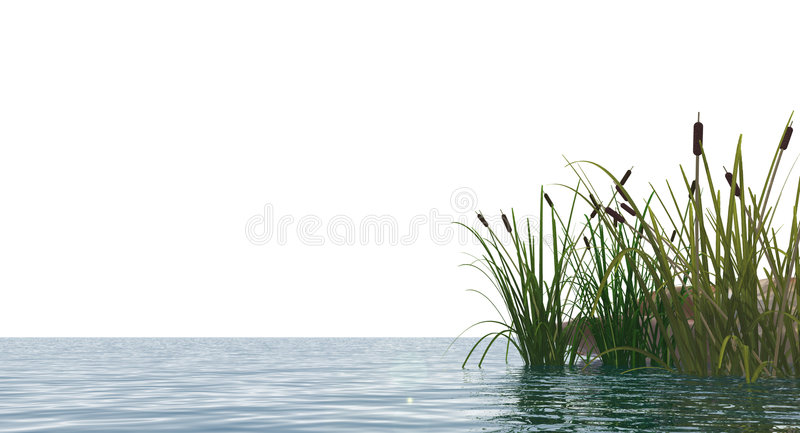 Reed. Isolated water landscape and reed - 3d illustration