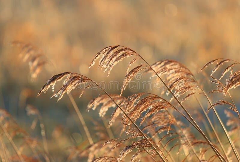 Reed immagine stock libera da diritti