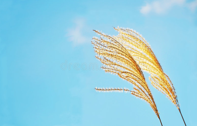 Download Reed stock photo. Image of blue, flower, fluffy, layout - 7380838