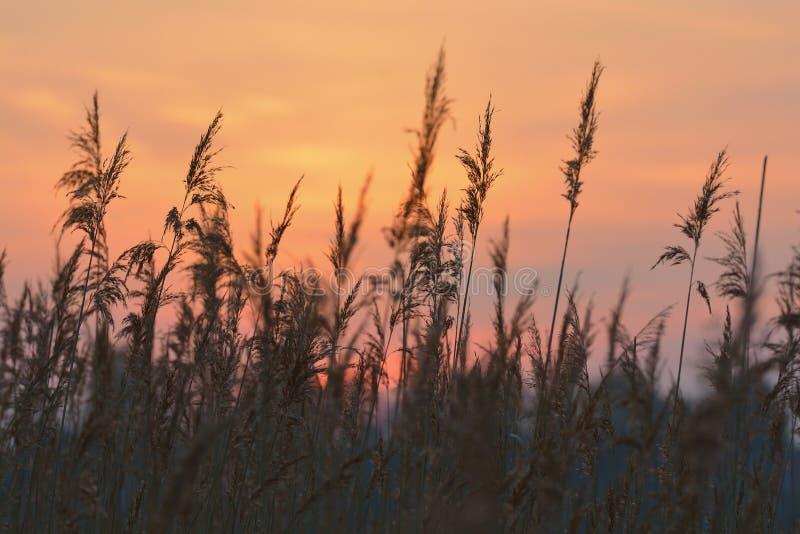 Reed Against Sunrise Sky Stock Photo