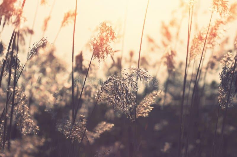 Reed al tramonto immagini stock