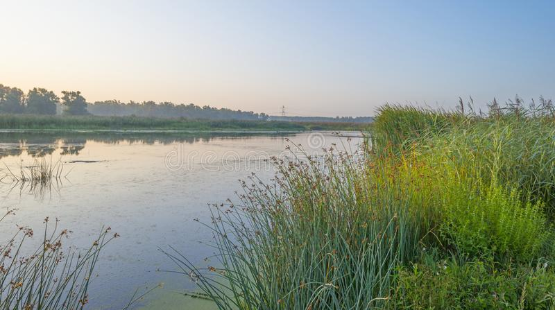 Reed along the edge of a foggy lake below a blue sky at sunrise. In summer royalty free stock photography