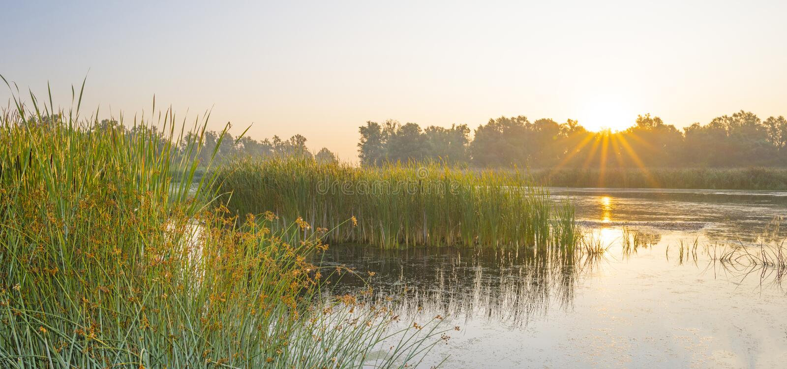 Reed along the edge of a foggy lake below a blue sky at sunrise. In summer royalty free stock photo