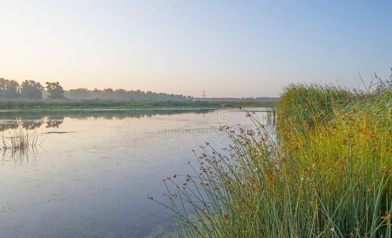 Reed along the edge of a foggy lake below a blue sky at sunrise. In summer royalty free stock images