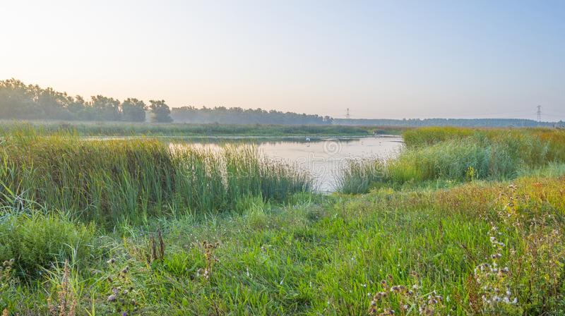 Reed along the edge of a foggy lake below a blue sky at sunrise. In summer stock photography