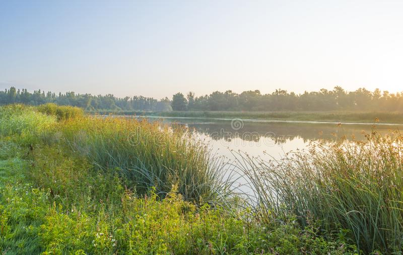 Reed along the edge of a foggy lake below a blue sky at sunrise. In summer royalty free stock photos