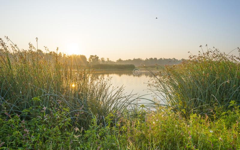Reed along the edge of a foggy lake below a blue sky at sunrise. In summer stock image