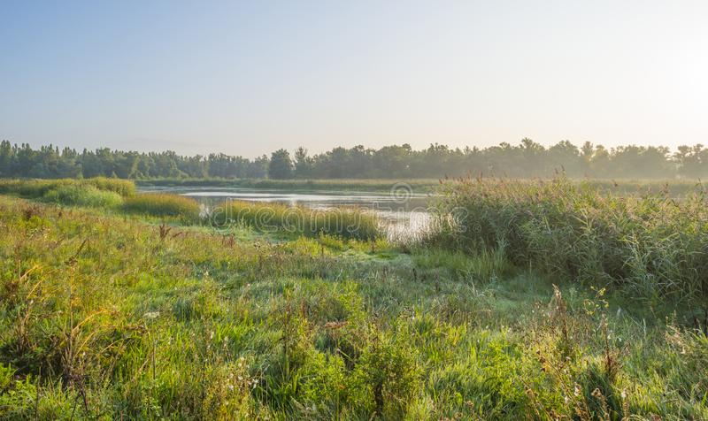 Reed along the edge of a foggy lake below a blue sky at sunrise. In summer royalty free stock image