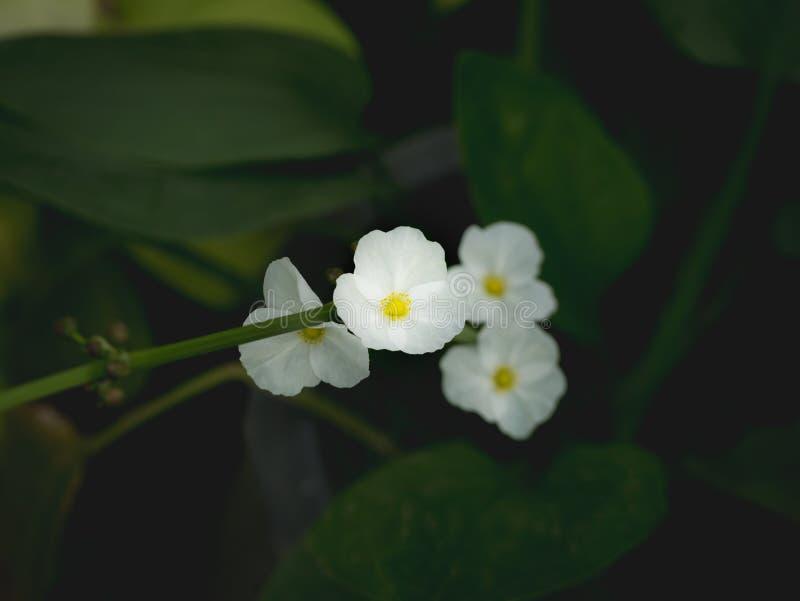 Reed Amazon Flowers Booming blanco imagenes de archivo