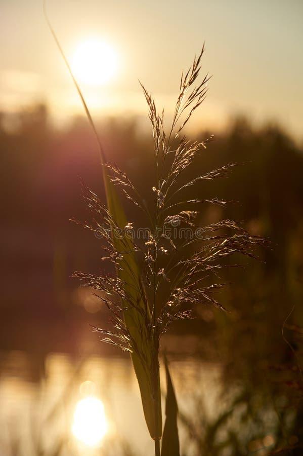 Reed au coucher du soleil Photographie r?tro-?clair?e photos stock