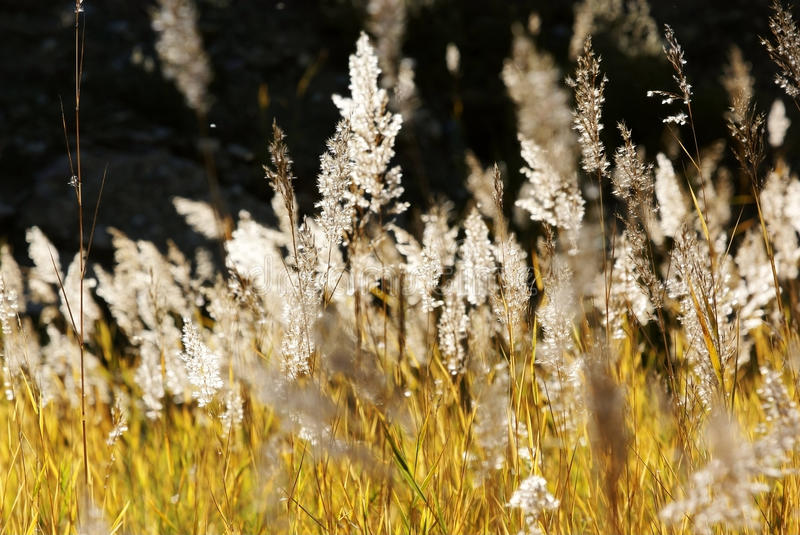 Reed in autumn stock photography