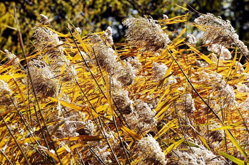 Download Reed in autumn stock image. Image of pond, flower, plant - 7100799