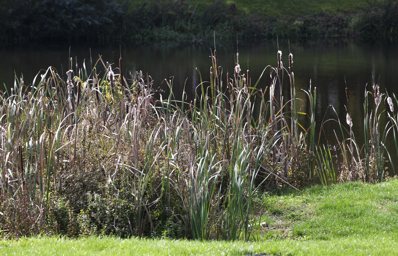 Reed - RAW format. Reed in autumn near Comana lake Romania stock photo