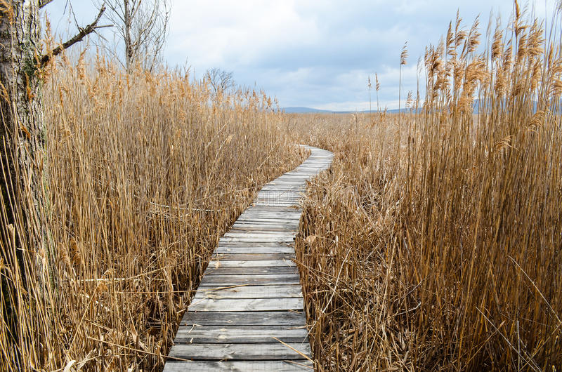 Reed in the autumn. Walkway with dry common reed in marsh in a wildlife reserve in the autumn royalty free stock photography