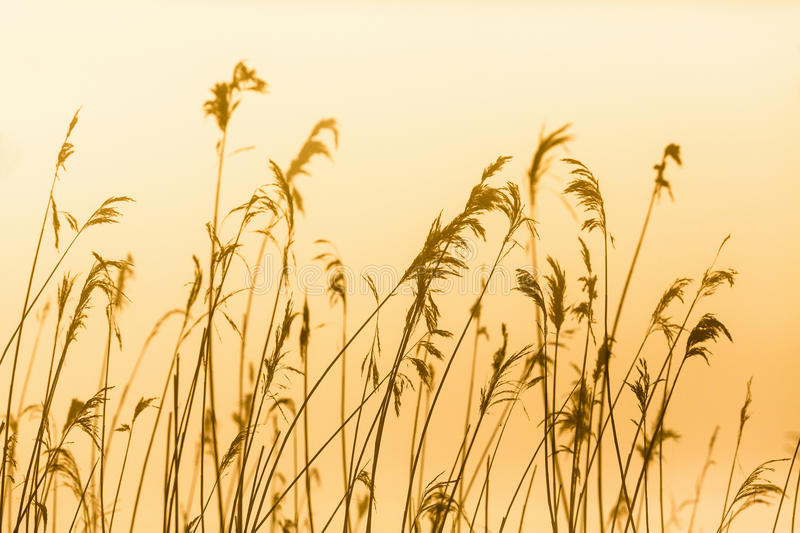 Reed in backlight at dawn stock photography