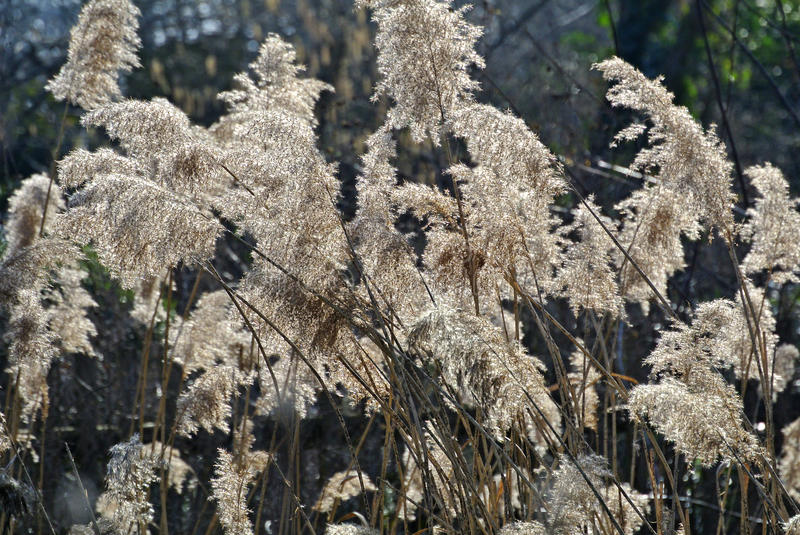 Reed in backlight stock photography