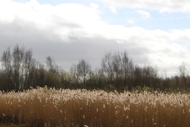 Reed Bed av Middleton Lakes royaltyfri fotografi