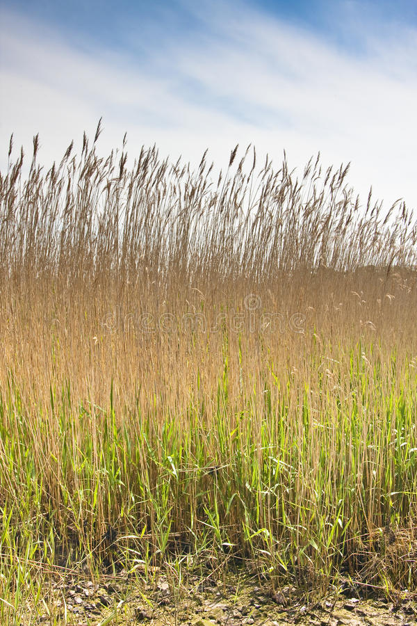 Free Reed Bed In Devon Royalty Free Stock Photography - 9434957