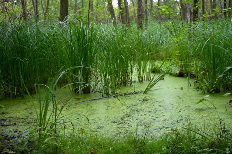 Reed bed with lemna royalty free stock image