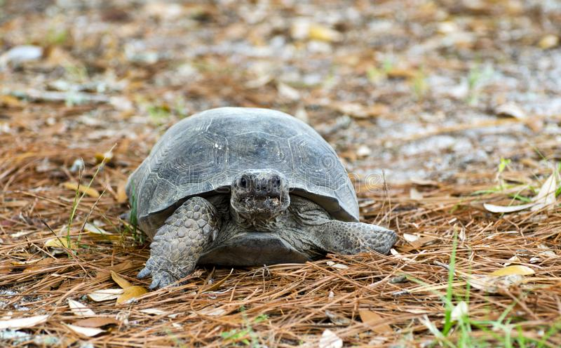 Gopher Tortoise at Reed Bingham State Park Georgia. Reed Bingham is a Georgia State Park in Colquitt County and Cook County. Coastal Plains Nature Trail. The stock image