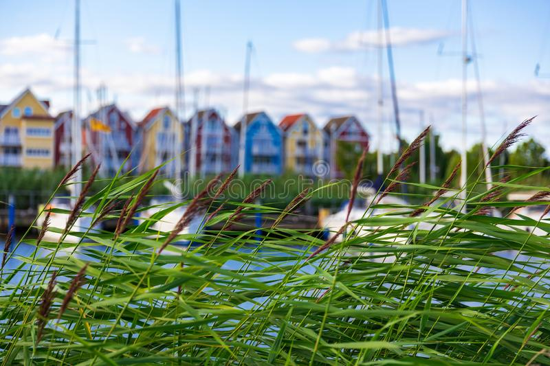 Reed blown by the wind in front of harbour with sail boats and c royalty free stock photos