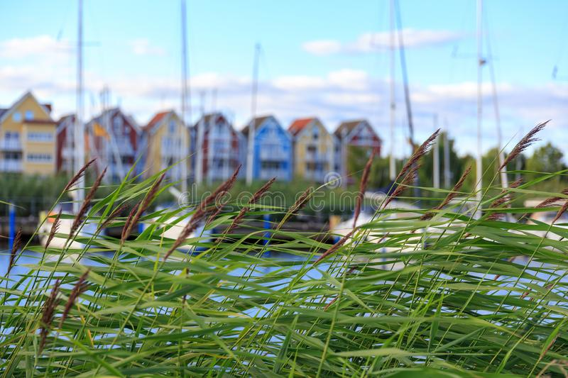 Reed blown by the wind in front of harbour with sail boats and c stock images