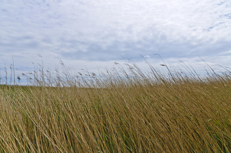 Reed bowed by wind. Before a cloud-covered sky royalty free stock image