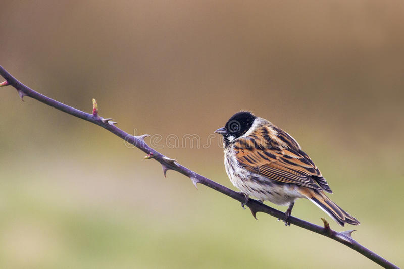 Reed Bunting photographie stock