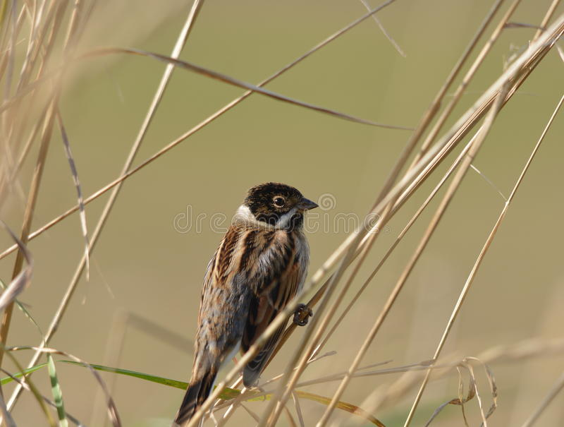 Reed Bunting royalty-vrije stock foto's