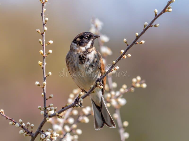 Reed Bunting commun - schoenichus d'Emberiza été perché dans un buisson de prunellier photo libre de droits