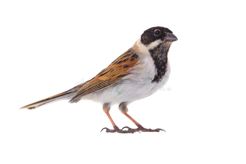 Reed bunting. Isolated on a white background royalty free stock image