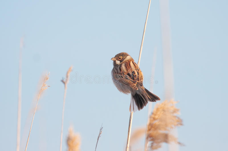 Reed bunting. In natural habitat / Emberiza schoeniclus royalty free stock images