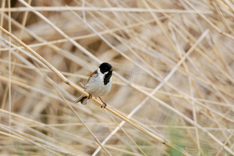 Reed bunting. Wild Reed bunting and reedbed stock image