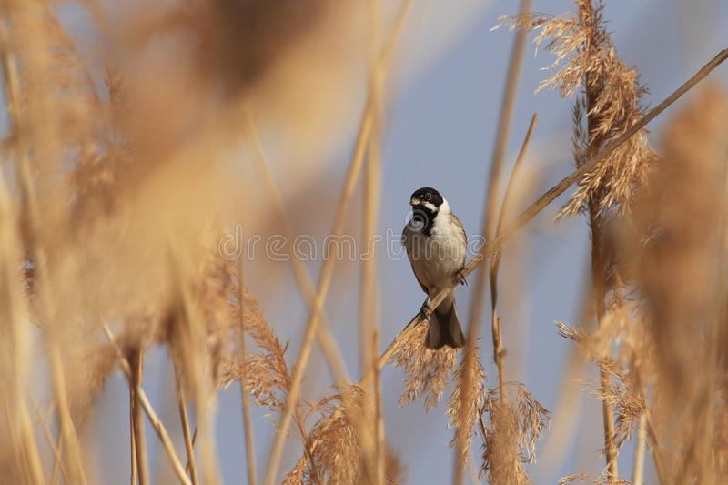 Reed bunting singing on reeds. Reed bunting sitting and singing on reeds in spring royalty free stock image