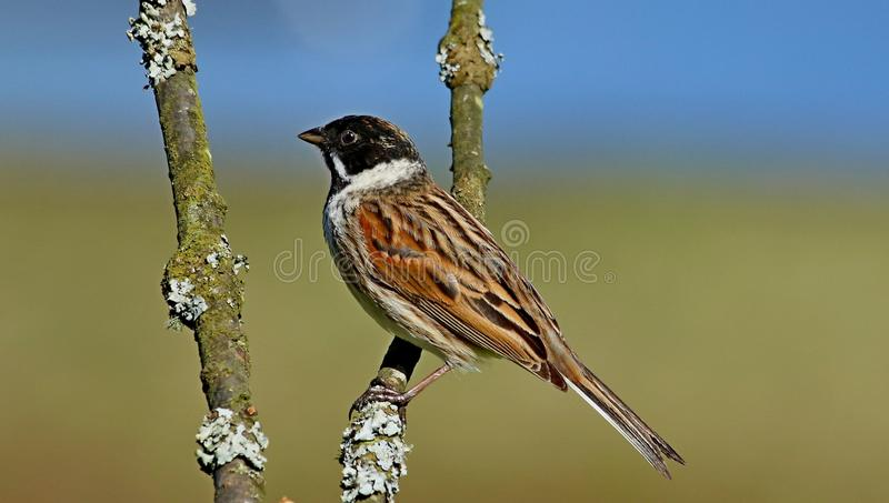 Reed Bunting-vogel die op tak wordt neergestreken stock foto's