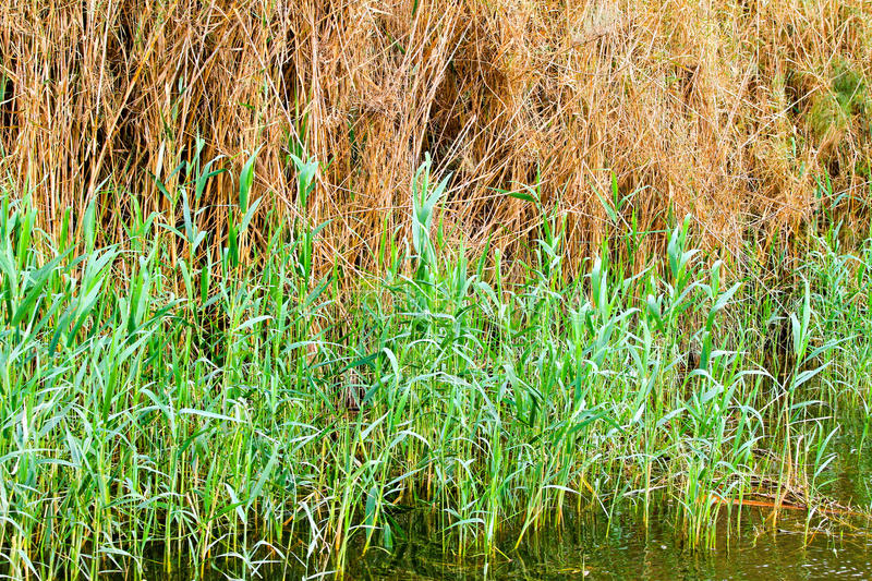 Reed cane. Plants at agricultural swamp field royalty free stock image