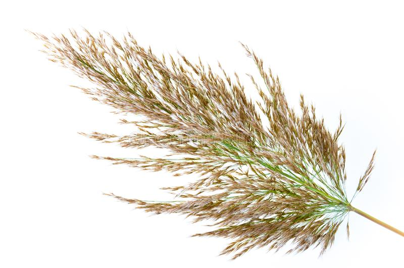 Reed catkins. Isolated on white background royalty free stock photo