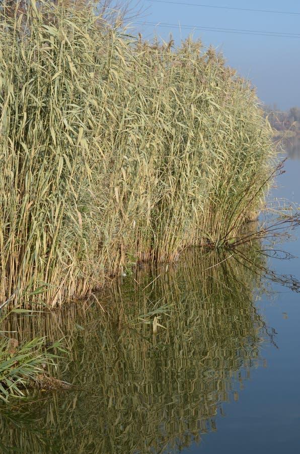 Reed cerca del río fotografía de archivo libre de regalías