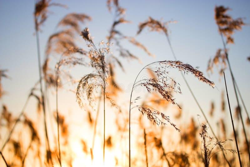 Reed contra o por do sol foto de stock royalty free