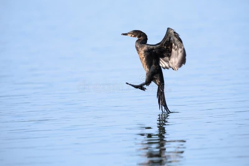Reed Cormorant que aterriza en un lago con agua azul para cazar para los pescados imagenes de archivo