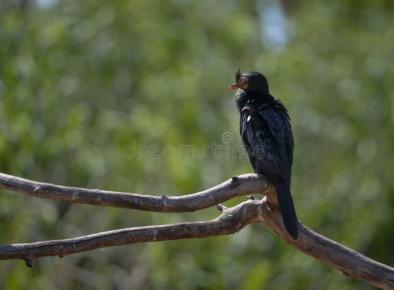 Reed Cormorant sur la branche morte image stock