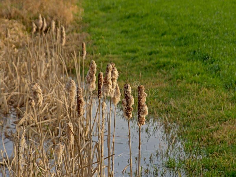 Reed crava em uma associação ao longo de um prado verde luxúria fotografia de stock royalty free