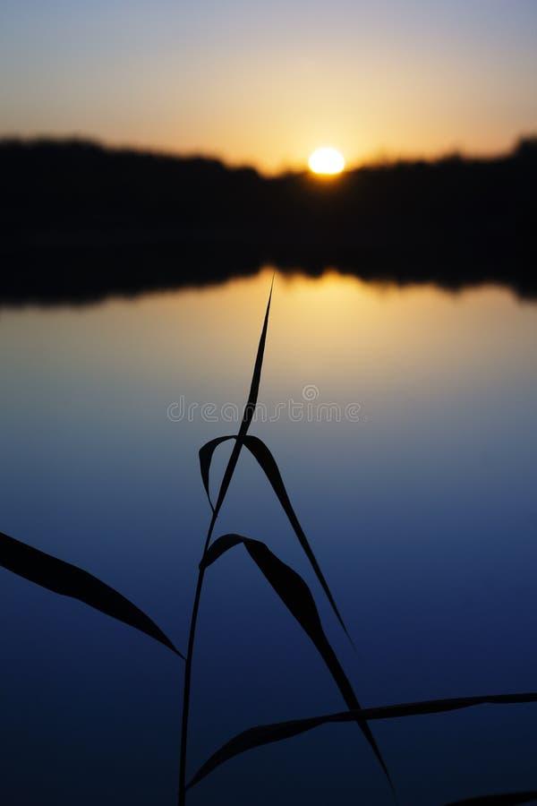 Reed dans le coucher du soleil photos libres de droits