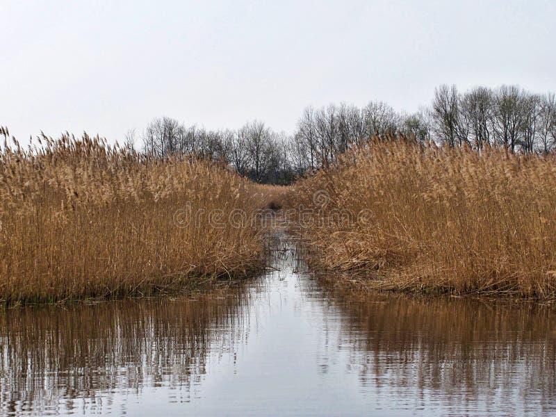 Reed, das in einem See im Herbst sich reflektiert stockfotografie