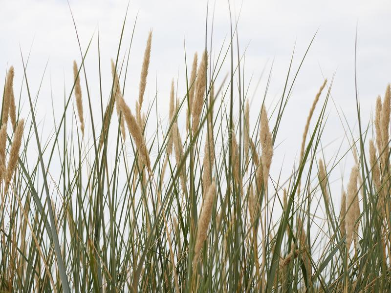 Reed on a dune. A reed overgrown shore by the sea stock photo