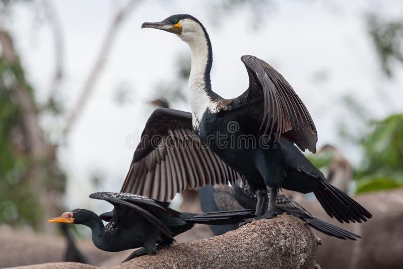 Reed e grandi cormorani fotografie stock libere da diritti